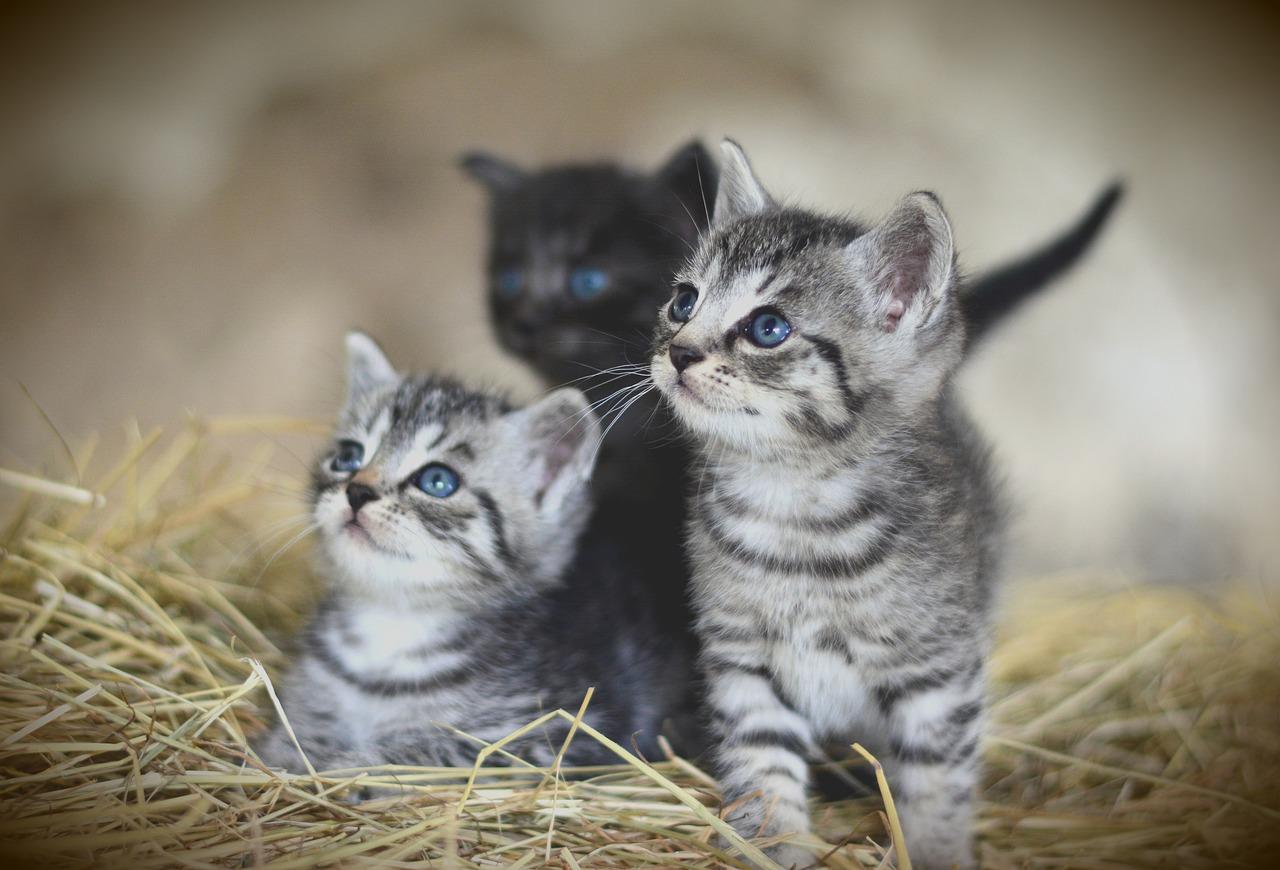 Anak Kucing Gambar Kucing Comel Majalah Cat Dog